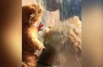 Aslan kıyafeti giyen bebeğe aslanın tepkisi