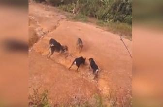 Kral kobrayla vahşi köpeklerin inanılmaz savaşı