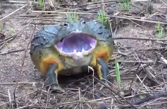 Kurbağa deyip geçmeyin!