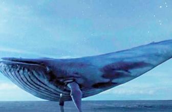 Mavi balina yumurtadan çıktı ölüm oyunu şok etti!