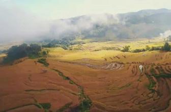 Pirinç tarlalarının muhteşem rengi