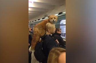 Omzunda tilkiyle metroya binen kadın şaşkına çevirdi