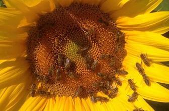 Arı kolonilerini kurtaran karar, bal verimini de artıracak