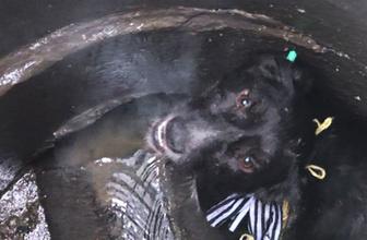 Köpeği foseptik çukuruna attılar ölümden döndü