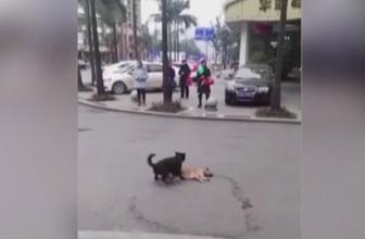 Yürek burkan görüntü! Ölen köpeği arkadaşı uyandırmaya çalıştı