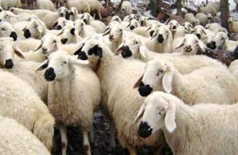 300 koyun taban alım fiyatı TİGEM başvuru sayfası