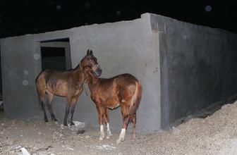 Adana'da kaçak at kesimi baskını