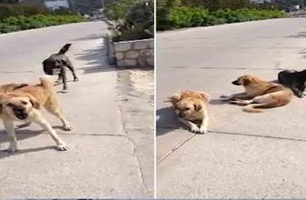 Saldırmak üzere olan sokak köpeklerini mum gibi yapan eğitmen