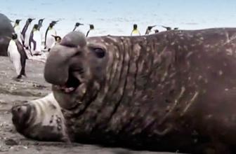 Kıyıya çıkan deniz fili, kendisini yavrunun üzerine atttı