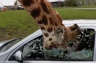 Zürafayı görünce ne yapacağını şaşırdı