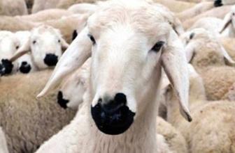 300 koyun dağıtımında yeni şartlar Bakan Fakıbaba açıkladı