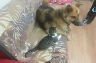 Kedi ve köpeğin dostluğu görenleri şaşkına çeviriyor