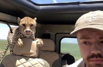 Safaride korkutan sürpriz… Çitayla burun buruna