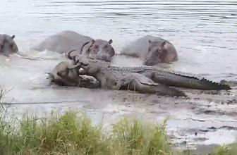 Antilobu timsahtan koruyan su aygırları herkesi şoke etti