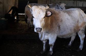 Doğruysa skandal! Polonya'dan 3 bin sığır eti satın aldık