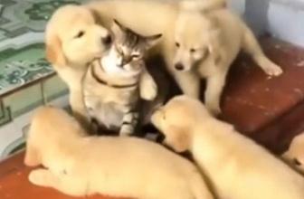 Köpeklerin arasında kalan kedinin aşırı ilgiye karşı verdiği tepki