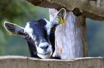 8 kişi, hamile bir keçiye tecavüz edip öldürdü!
