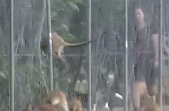 Aç kalan kangurular kendilerini tellere fırlattı