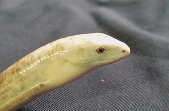 Herkes önce yılan sandı! Ama o aslında bambaşka bir canlı