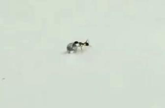 'Elmas hırsızı' karınca kameraya yakalandı