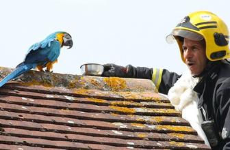 Evden kaçan papağan itfaiyeciye küfretti!