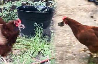 Tavuklar köstebeği böyle avladı