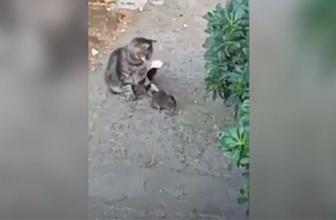 Sahibinin taktiklerine rağmen yakaladığı fareye kıyamayan kedi