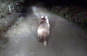 Önüne çıkan ayıyı ormana kadar kovaladı!