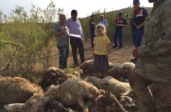Aç kalan kurtlar sürüye saldırdı: 78 hayvan telef oldu!