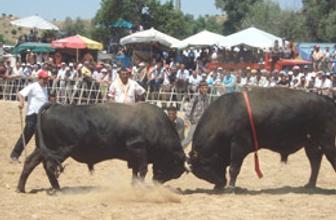 Ödemişe Boğa Güreşleri Festivali
