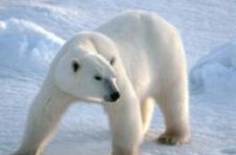 'Kutup ayılarının nesli tükenmiyor'