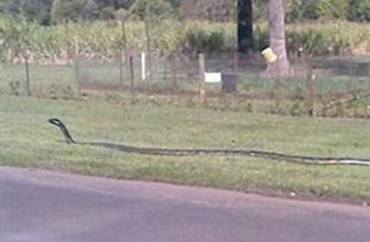 Dev yılan binlerce evin elektiriğini kesti