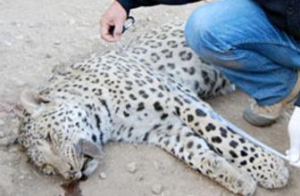 Öldürülen leoparın türü belirlendi