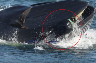 Köpek balığı çekiyordu! Balina dalgıcı yutmaya çalıştı