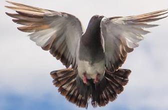 Dünyanın en pahalı güvercini: Armando, 1.25 milyon euro'ya satıldı