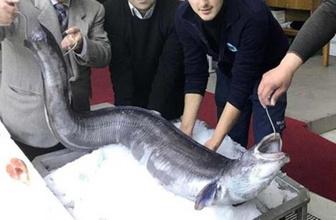 Marmara'da denizcileri korkutan dev balık