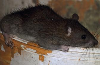 İngiltere'de hapishaneye ölü sıçanlarla uyuşturucu ve cep telefonu sokuldu
