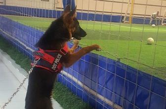 Futbol düşkünü Alman kurdu 'Lucy'nin maç keyfi