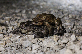 5 bin yıldır çiftleşmek için geliyorlar! Kurbağalara alt geçit yapılıyor