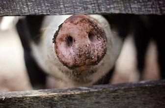 Bilim adamları 32 ölü domuzla deney yaptı! Ölü beyin yeniden diriltildi