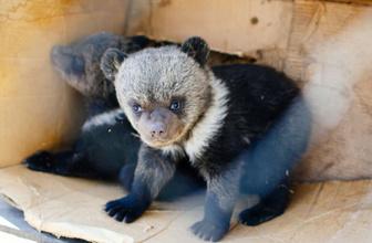 Rusya'daki bir otelde 2 yavru ayı ihbarı şaşkınlık yarattı