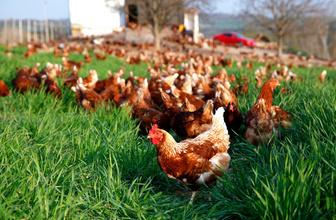 Bursa'da Müslüm Baba dinleyen tavuklara bakın ne oluyor