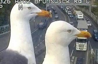 Martılar trafik kontrol kamerasını trolledi!