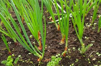 Yeşil soğanın bilmediğiniz faydaları nelerdir?