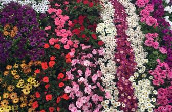 Manisa'da Çiçek Festivali ile renklendi