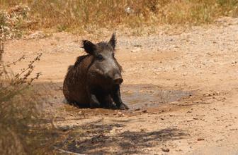 Sıcak havadan bunalan domuzun çamur banyosu keyfi