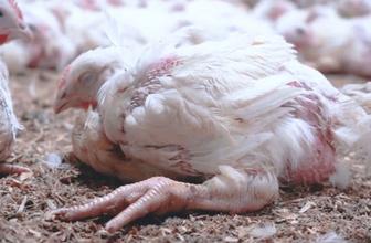 Tavuk çiftliklerinde skandal görüntü! Hayvanlara yapılan eziyetler gizli kamerada