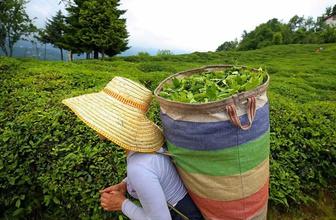Yaş çay taban fiyatı ne kadar olacak?