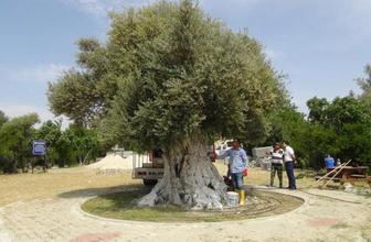 Cumhurbaşkanı Erdoğan'ın bahsettiği ağaç 1300 yaşında