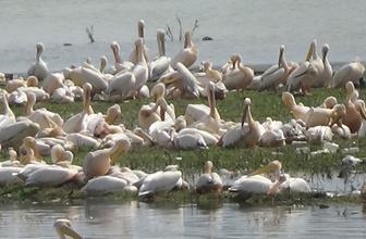 İlk kez geldiler! Barajda muhteşem görüntü
